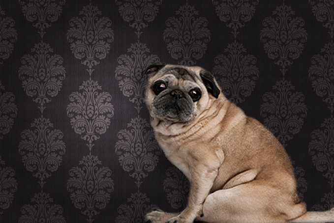 Pug dog against brown pattern wallpaper background