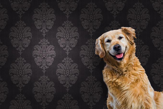 Golden Retriever dog against brown pattern wallpaper background