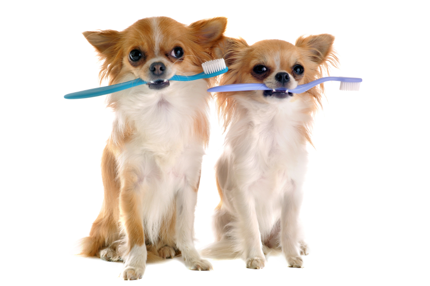 Two dogs holding toothbrushes
