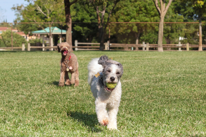 Dog running outdoors with a tennis ball in its mouth and another dog in the background
