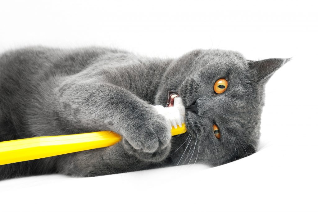 Cat holding a toothbrush