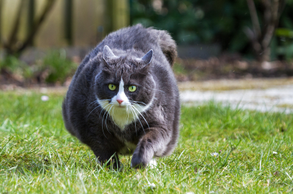 Overweight cat outdoors