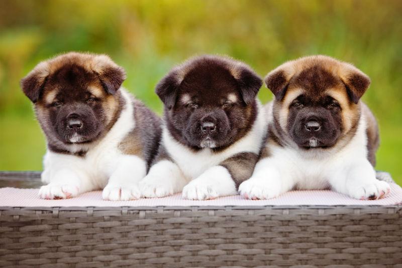 Akita Puppies Sitting Together