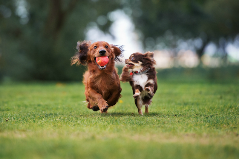 Dogs Playing on a Grass Field